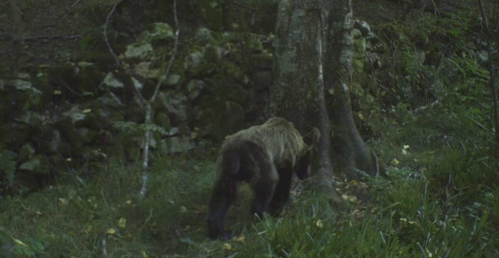 Un oso pardo, en la Cordillera Cantábrica.