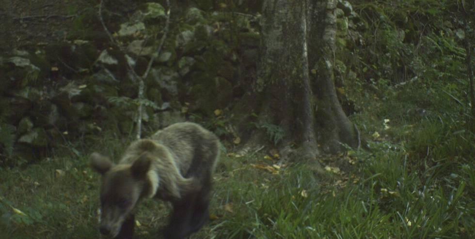 Un oso pardo desnutrido, en la Cordillera Cantábrica.